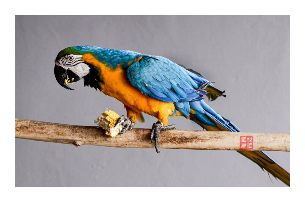 blue_and_gold_macaw_parrot